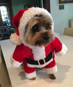 Small dog in a santa costume