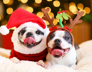 Two cute puppies wearing a santa costume and a reindeer costume
