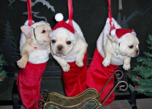 Three puppies hanging in Christmas stockings